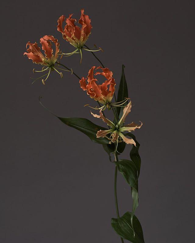 captureone victoriaushkanova fotoroomopen nevercompromise gloriosa art flowers
